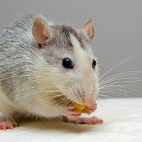 L'été arrive, les rongeurs aussi, les gestes à adopter pour éviter d'être infester par des rats ou souris…