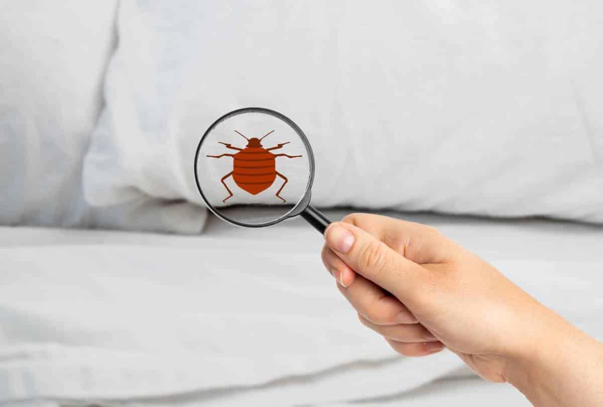 Comment éradiquer les punaises de lit ?